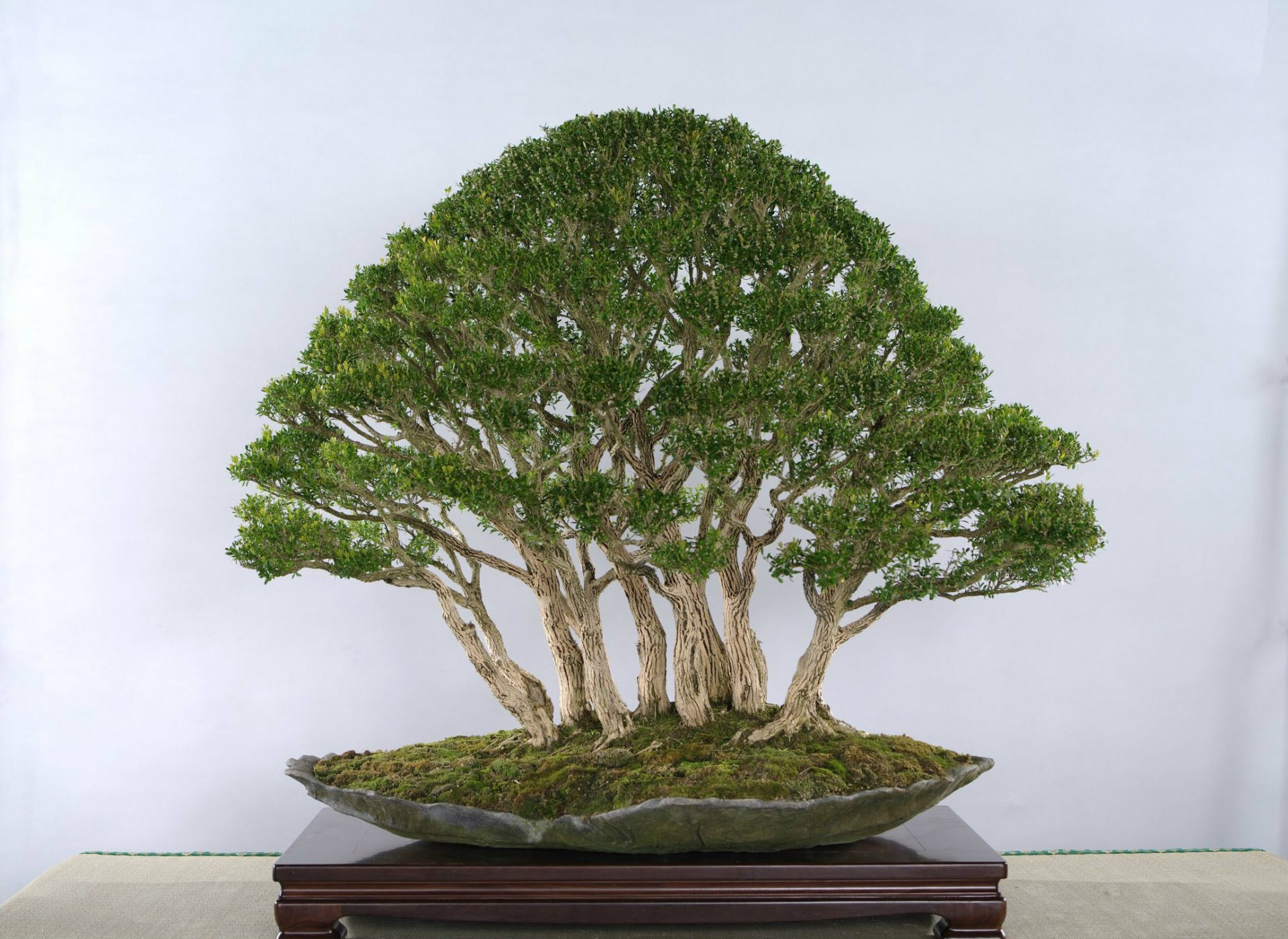 One of Professor Amy Liang's bonsai trees (Image: Courtesy of Jenny Zhang)