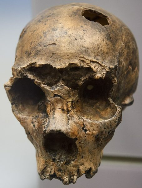 Neandertal skull (Image: By Adam Foster - File:National_Museum_of_Natural_History_(8587341141).jpg, CC BY 2.0, https://commons.wikimedia.org/w/index.php?curid=61831213