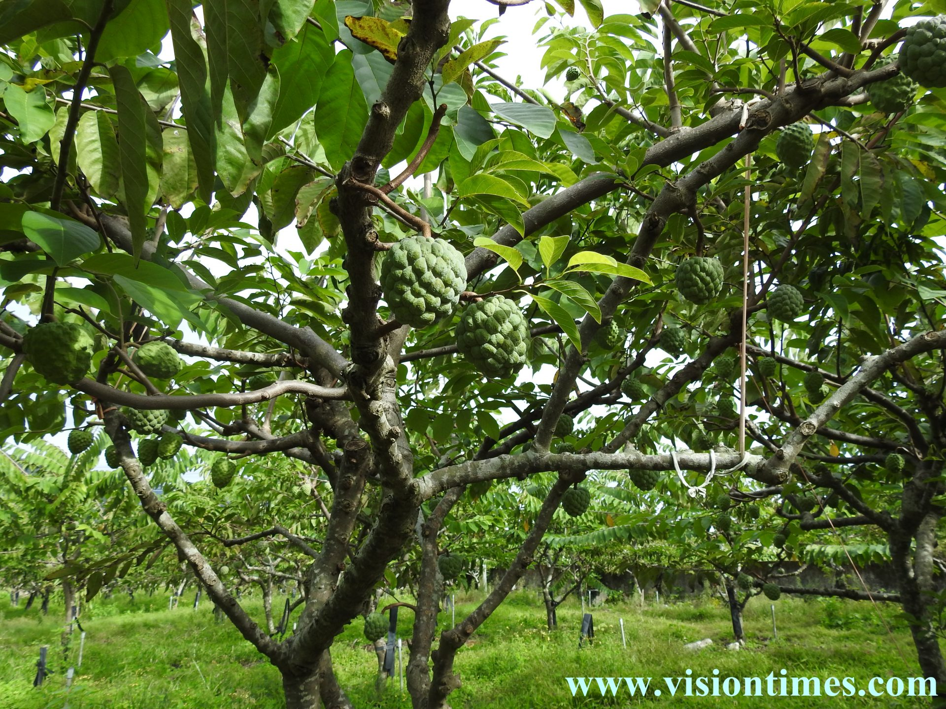 Taiwan is currently the largest sugar apple cultivating country in the world. (Image: Billy Shyu / Vision Times)