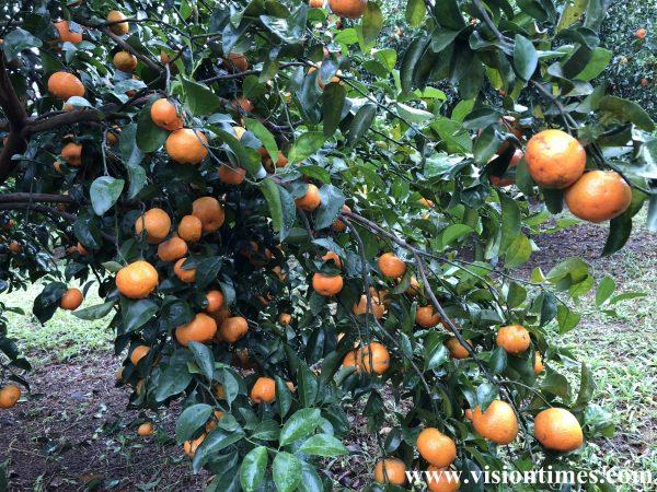 An orchard near a Hakka leisure farm in Taiwan (Image: Julia Fu / Vision Times)