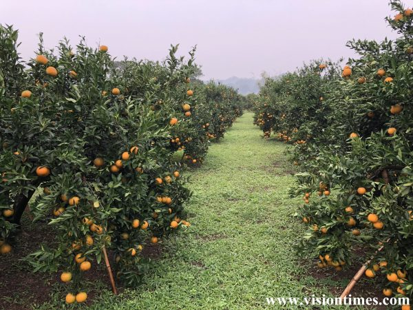 Visitors can go to the orchards nearby to pluck oranges right off the branches and eat as many oranges as they want on the spot. (Image: Julia Fu / Vision Times)