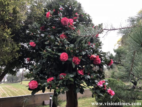 There are many camellia trees at a Hakka leisure farm in Hsinchu County's Beipu Township. (Image: Julia Fu / Vision Times)