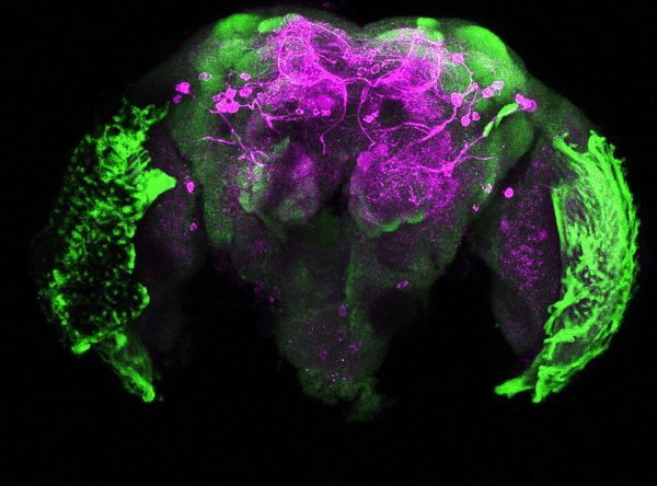 Dopamine staining in the brain of an Aedes aegypti mosquito. (Credit: Gabriella Wolff)