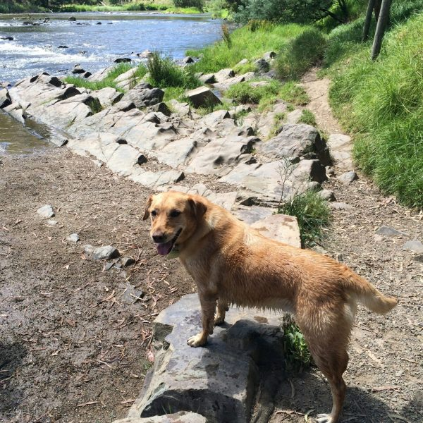 Dog by the Yarra river in Warrandyte. (image by Trisha Haddock)