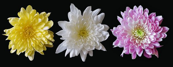 Chrysanthemums bring longevity. (Image via pixabay / CC0 1.0)