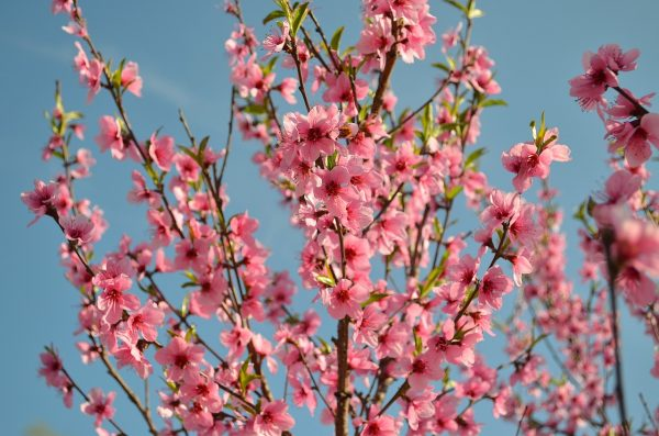 Peach blossoms bring good luck in marriage (Image via pixabay / CC0 1.0)