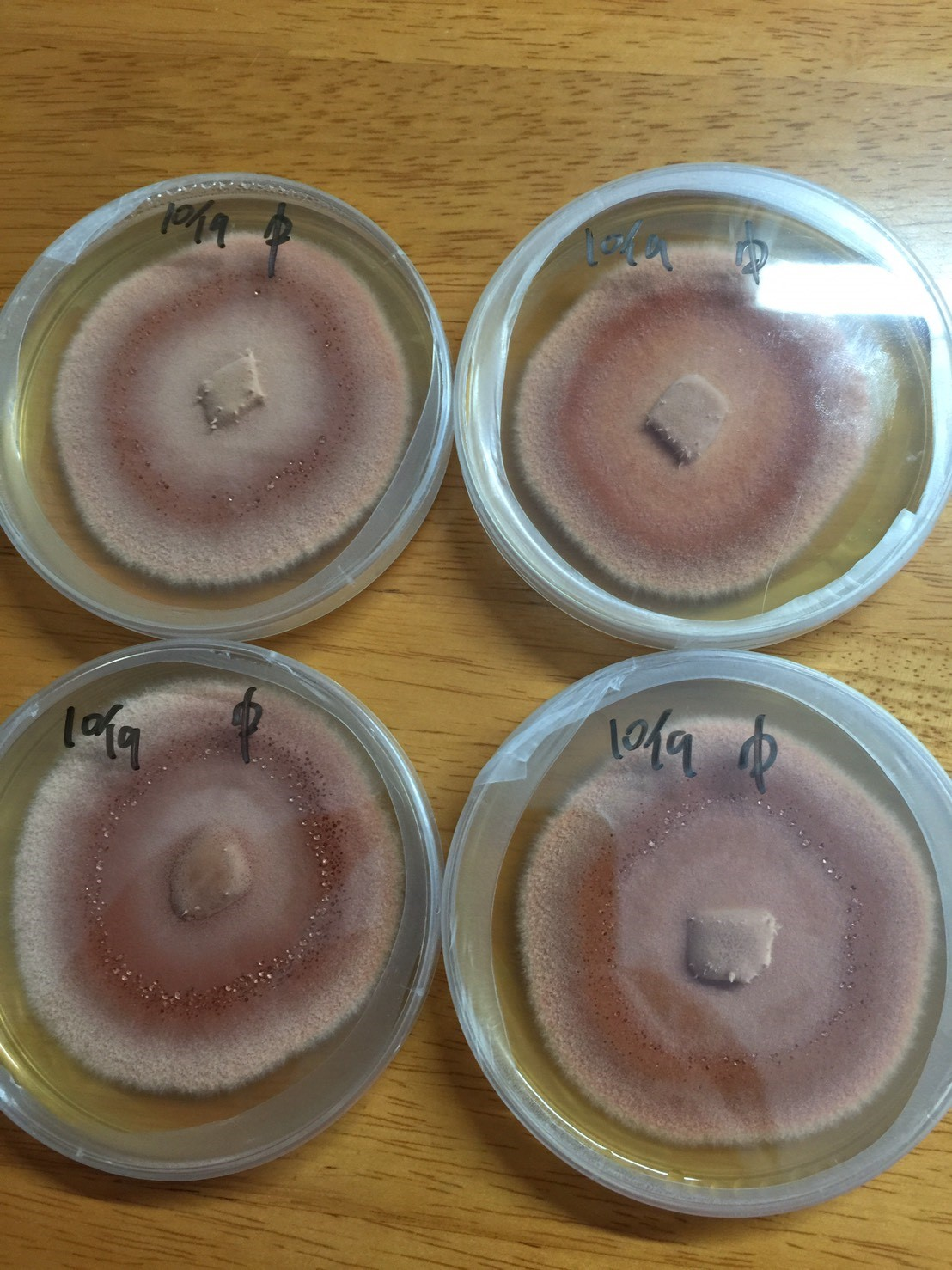 Niu Zhang Mushroom growth on agar plate. (Image courtesy of 3i Agricultural BioTech Group)