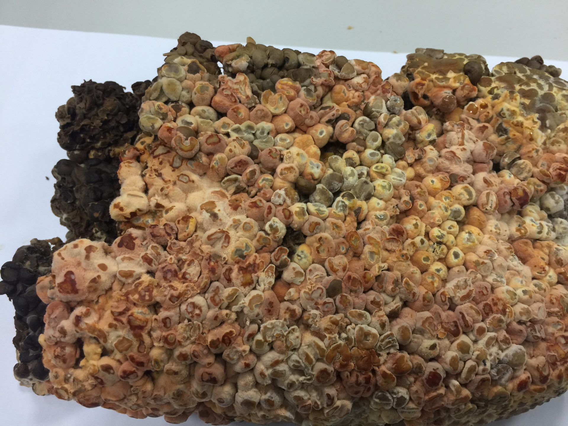 Niu Zhang Mushroom growth on solid culture (Image: Courtesy of 3i Agricultural BioTech Group)