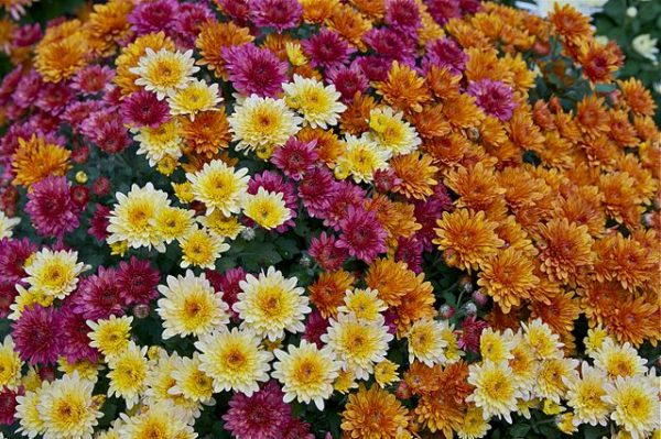 In TCM, the flower is used for its soothing and cooling properties to treat irritated eyes, high blood pressure and migraines. (Image: via wikipedia / CC0 1.0)