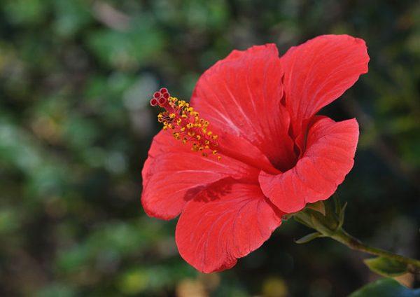 Medicinally, the hibiscus has many benefits. (Image: via wikimedia / CC0 1.0)