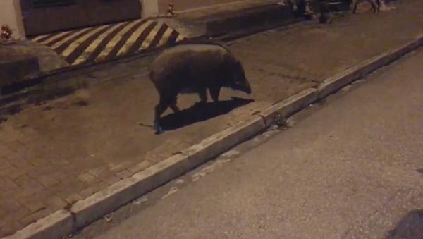 Hong Kong Bay Area, a wild pig searches for food.(Image Credit: Mona Song / Nspirement)