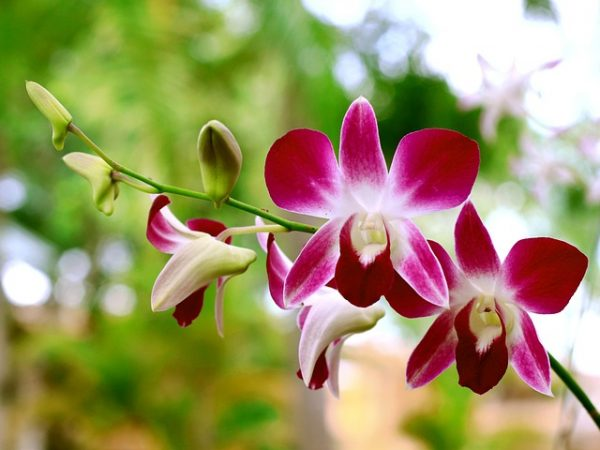 Dried orchid flowers are used to boost the immune system of the body, fight stress and improve blood circulation. (Image: via pixabay / CC0 1.0)