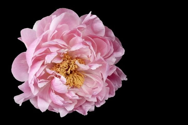 Peonies have been an integral part of the Chinese culture since the beginning and are present in abundance in the Imperial Gardens. (Image: via pixabay / CC0 1.0)