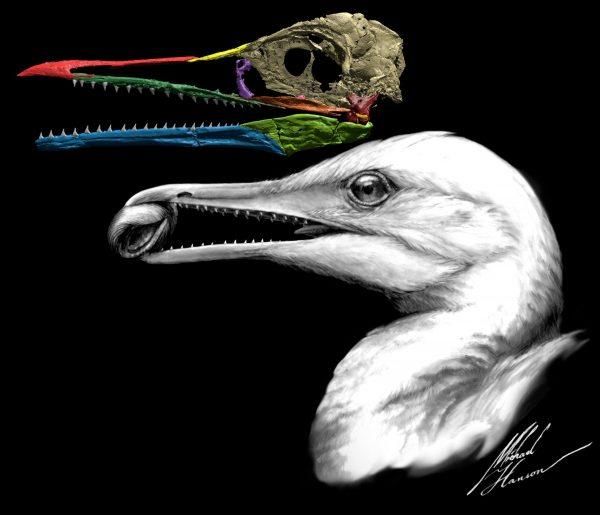 Fossil reconstruction and illustration of Ichthyornis dispar. (Credit: Michael Hanson/Yale University)