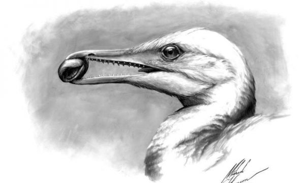 Life reconstruction of the toothed stem bird Ichthyornis dispar showing that the first form of the avian beak was a precision pincer-tip probably used for fine manipulation. (Credit: Michael Hanson and Bhart-Anjan S. Bhullar)