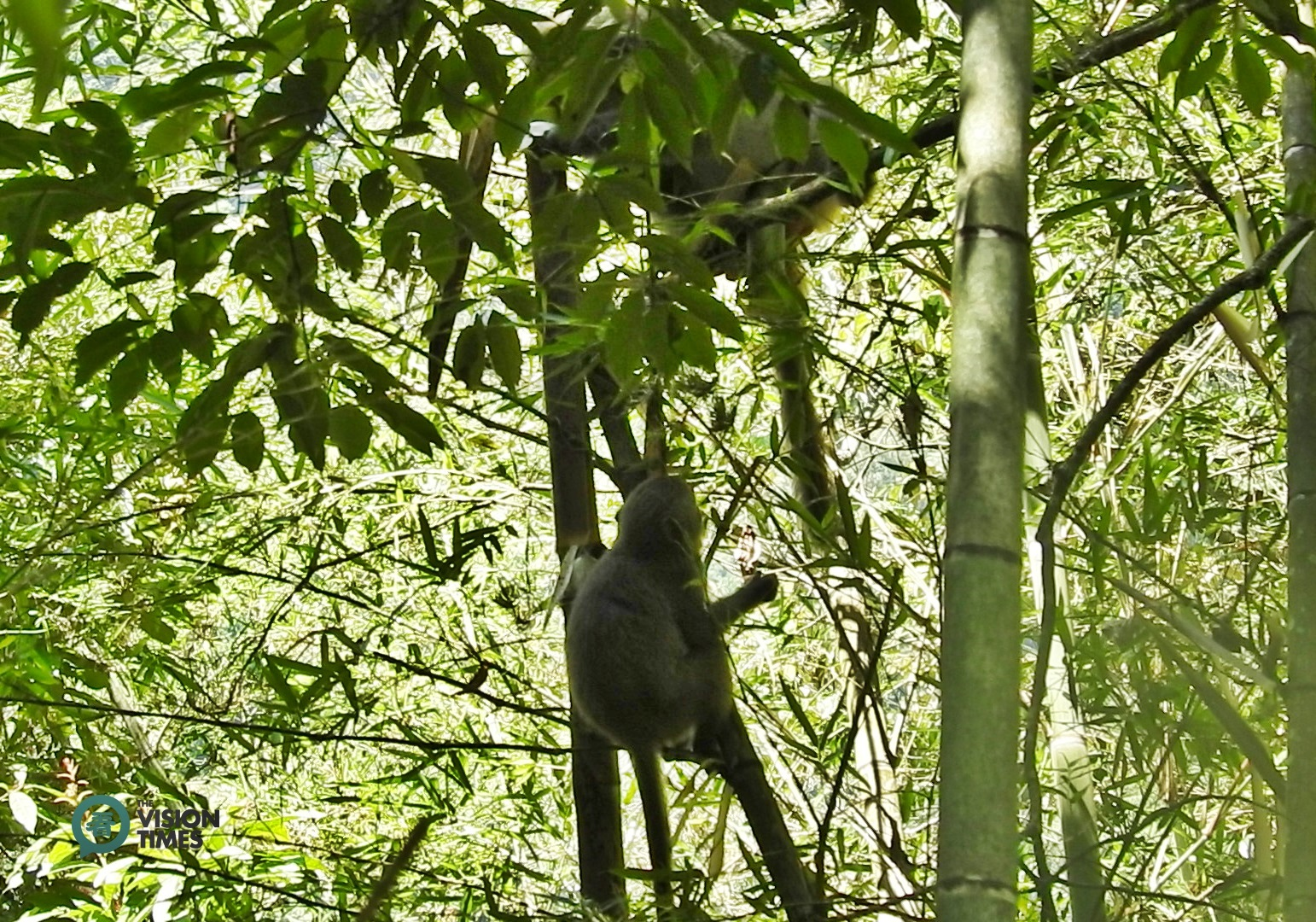 Formosan macaques never fail to find bamboo shoots in the forests around Sun Moon Lake. (Image: Billy Shyu / Vision Times)