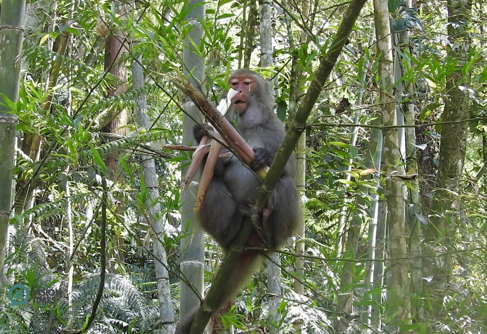 A Formosan macaques enjoys a bamboo shoot at the bamboo forest at Sun Moon Lake. (Image: Julia Fu / Vision Times)