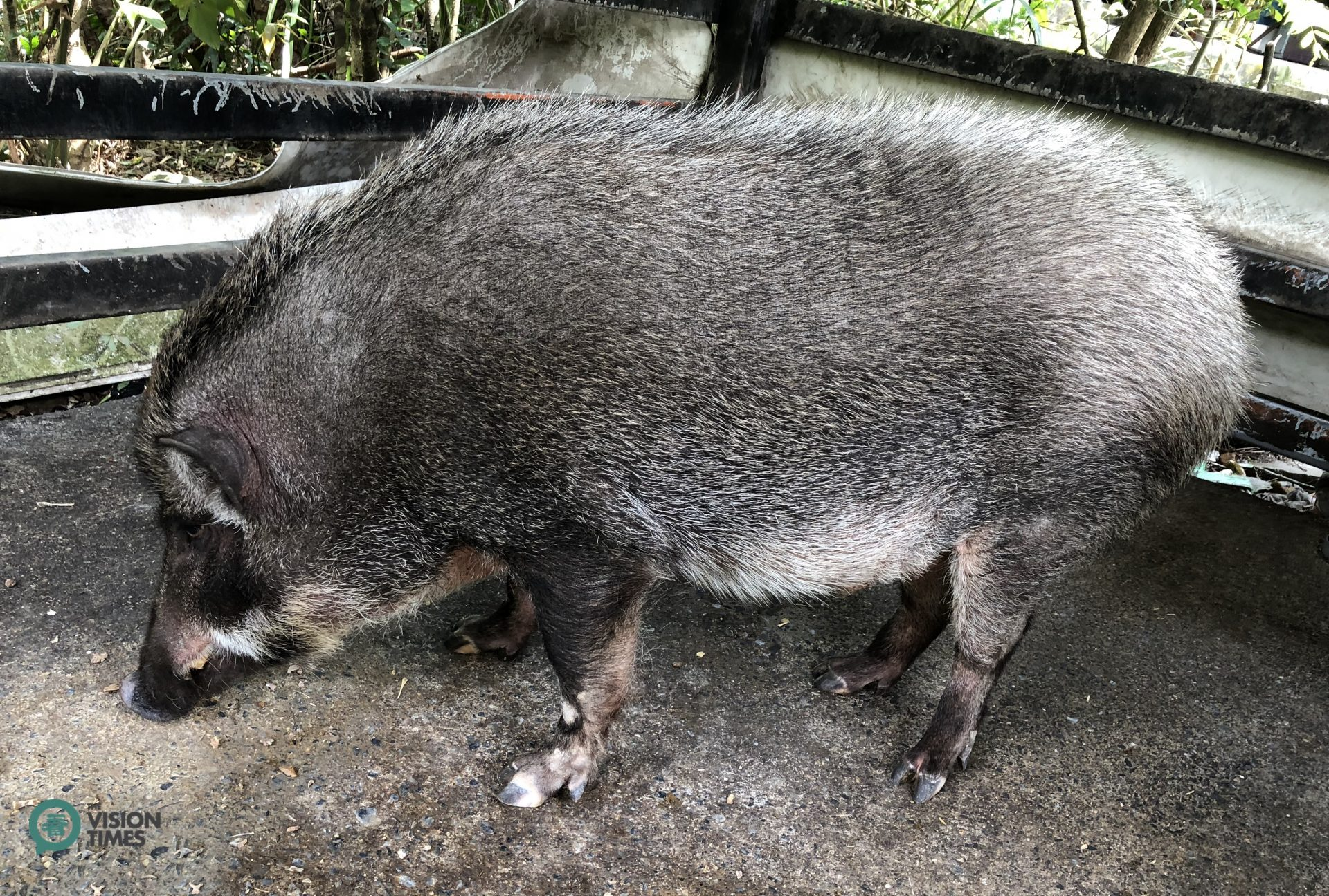 A Formosan wild boar called Maoguai (毛怪) is also a star of the organic farm. (Image: Billy Shyu / Vision Times)