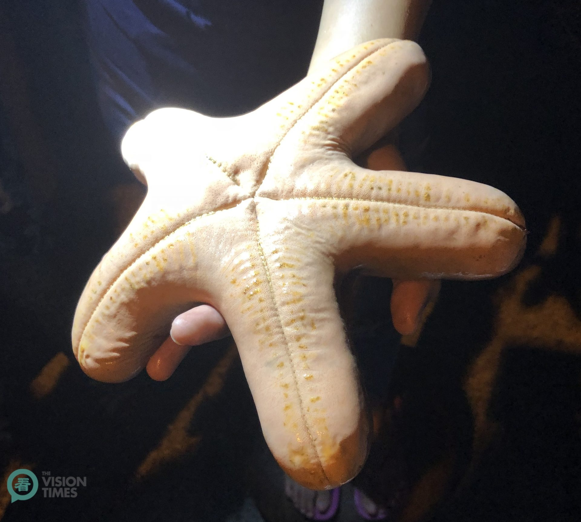 Visitors can have a guided night tour by scooter to see the intriguing yellow starfish. (Image: Billy Shyu / Vision Times)