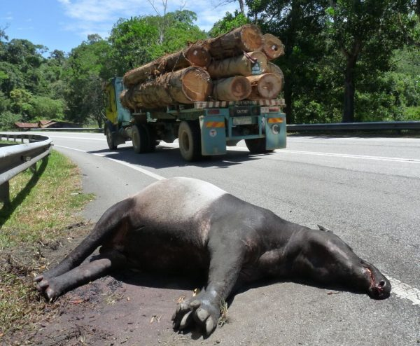 Road-expansion projects are a major threat to wildlife, such as this road-killed Malayan Tapir in Malaysia (photo: (c) WWF-Malaysia).