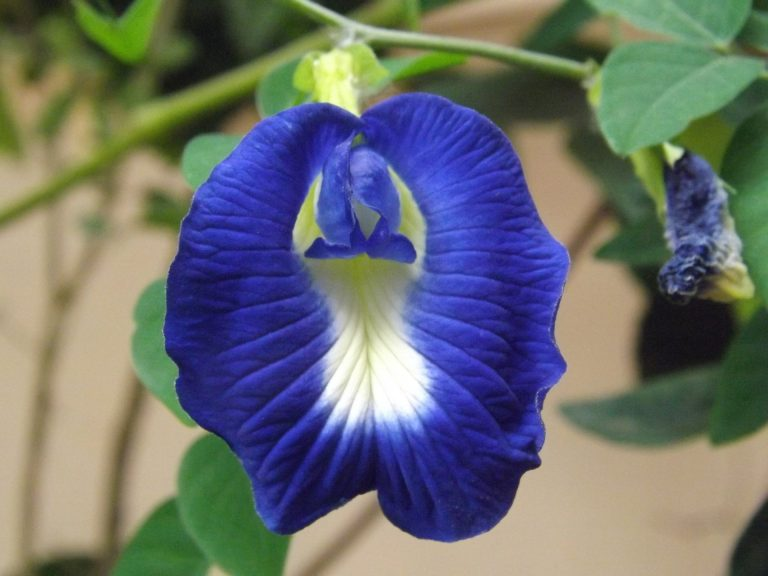 Butterfly Blue Pea Flower,Clitoria ternatea. (Image by https://pixabay.com/en/butterfly-pea-flower-545016/)