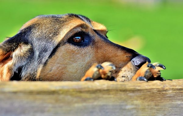 Symptoms of dogs, who may have been infected, include watery or close to pus discharge from the eyes, fevers, lack of appetite and energy, and nausea. (Image: via pixabay / CC0 1.0)