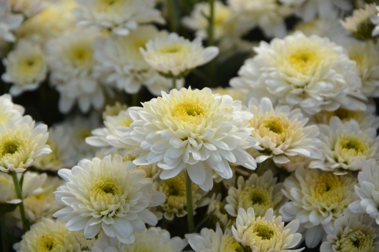 In Australia, white chrysanthemums are used instead of white carnations.Mothers Day is in Autumn and when chrysanthemums bloom. https://pixabay.com/en/white-flowers-white-chrysanthemums-2899452/