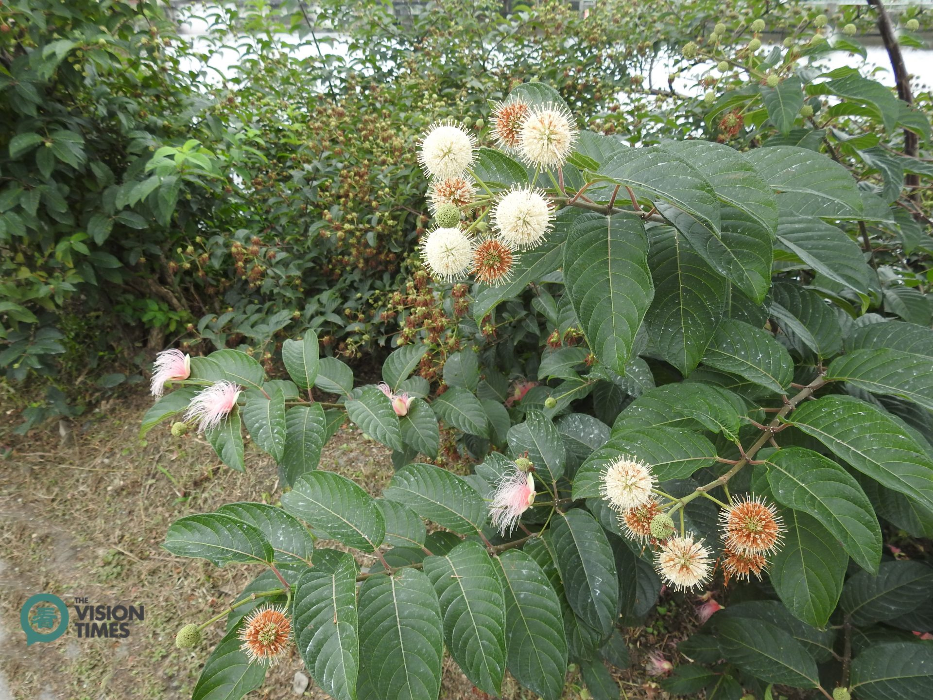 The Yilan 52-jia Wetland is home to buttonbush (風箱樹). (Image: Billy Shyu / Vision Times)