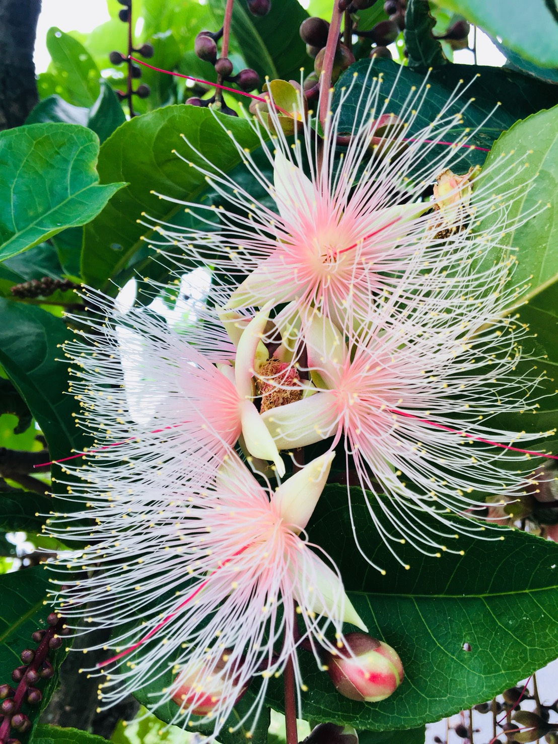 The Beautiful blossoms of Small-leaved Barringtonia in Yilan 52-jia Wetland. (Image: Sandy Wang)