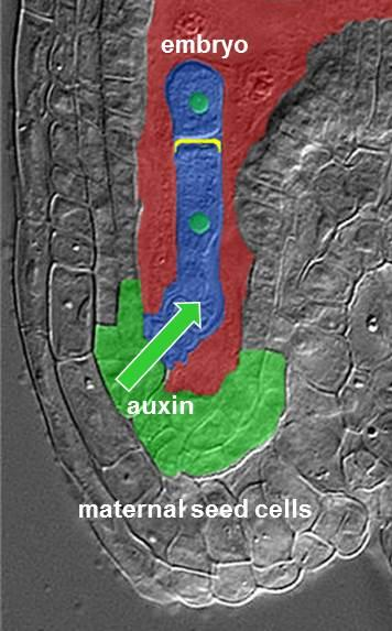 The hormone auxin accumulates in the area of the seed where the embryo is connected to the maternal tissue. (Image: Thomas Laux)