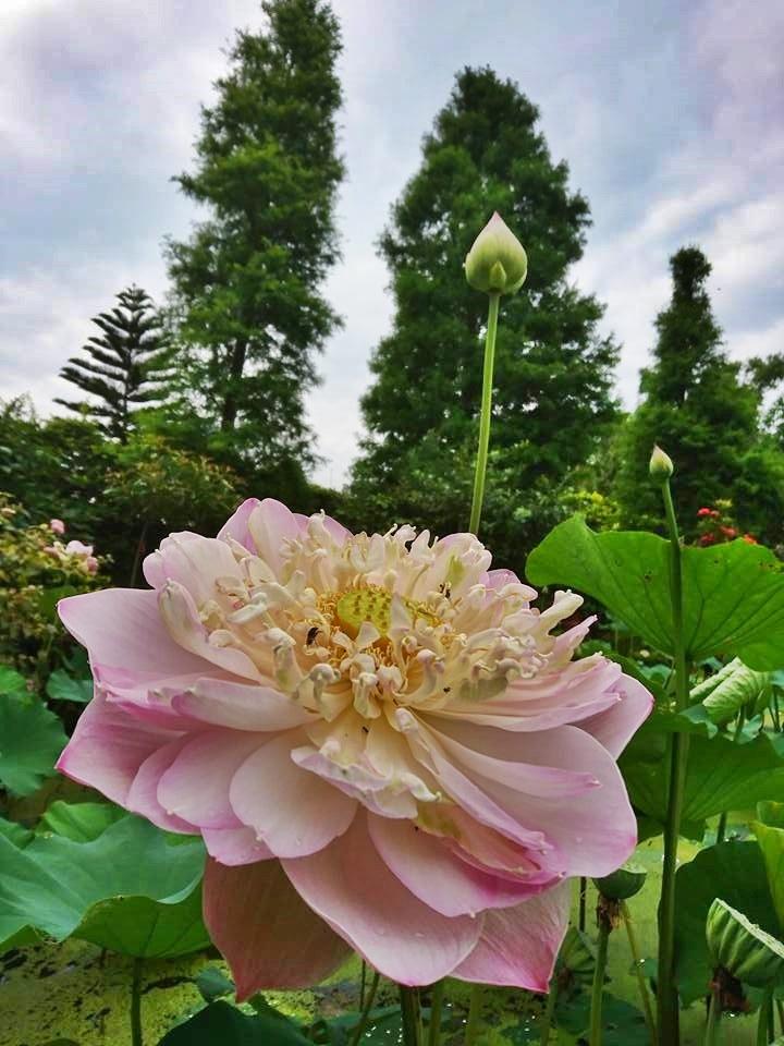 The beautiful lotus flowers in Lian He Garden Leisure Farm. (Image: Lian He Garden Leisure Farm)