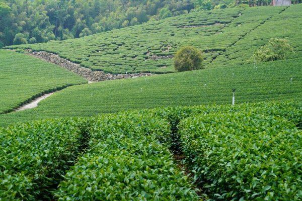 A high mountain tea field in central Taiwan. (Image: Antigoni Chrysostomou)