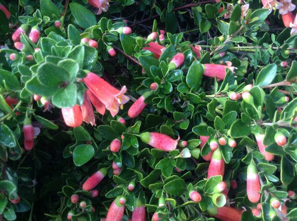 Australian native flower called Correa found in garden bed at the Kyneton Resort. Image by Trisha Haddock.