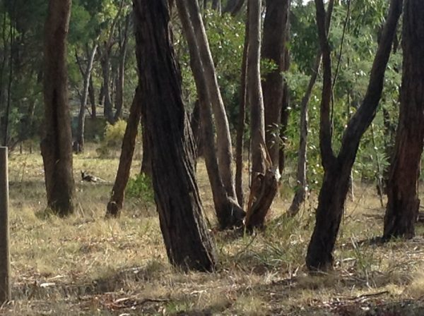 A Kangaroo enjoying the morning sun in the clearing through the trees.Image by Trisha Haddock.