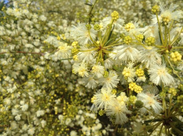 Flowering Acacia found on walking track around the Kyneton Resort. Image by Trisha Haddock.