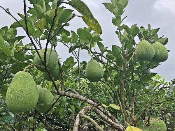 Happy Guesthouse's grapefruits will be ripe around the Mid-autumn Festival at the end of August. (Image: Julia Fu / Vision Times)
