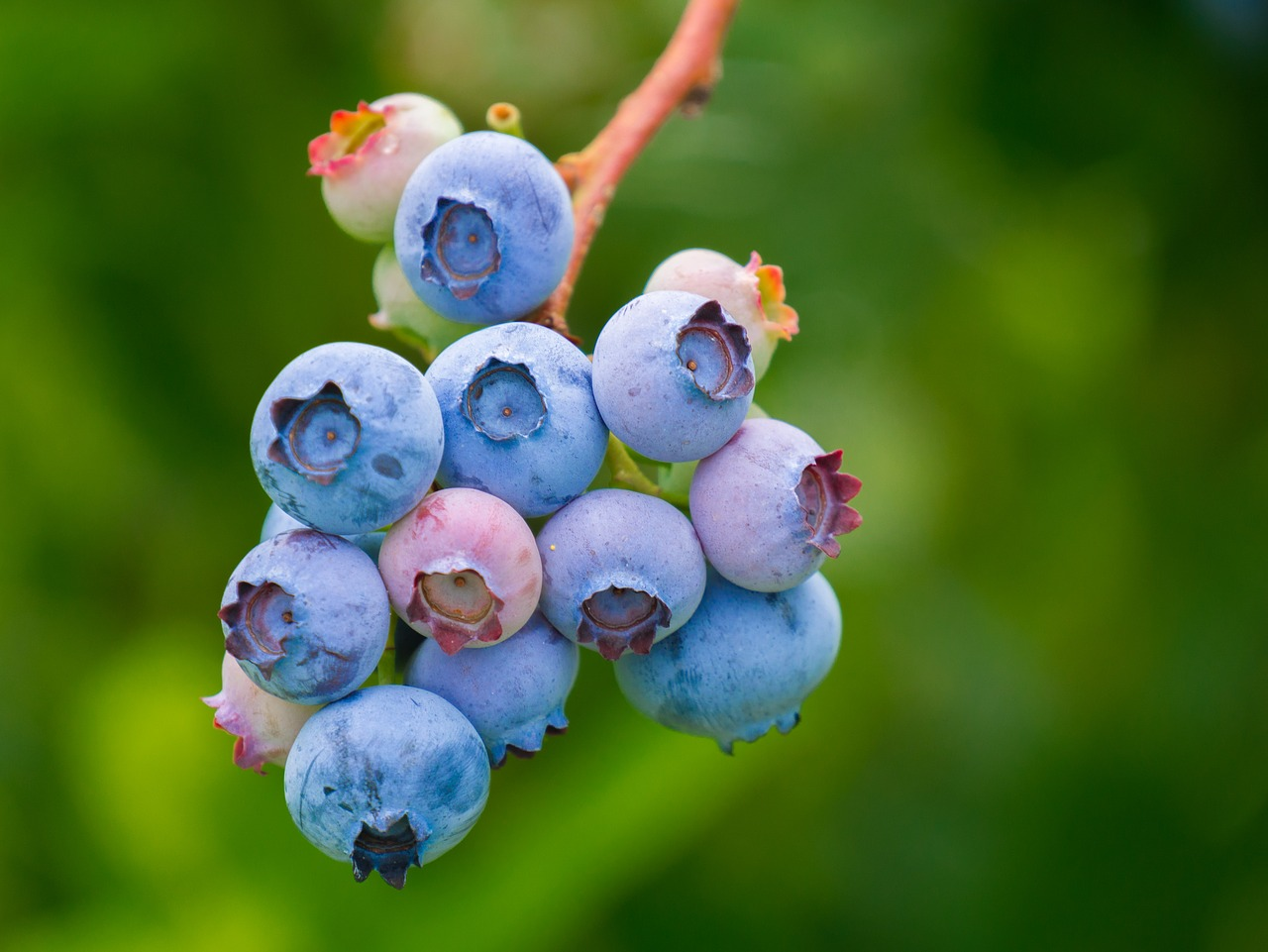 Blueberries appear to help improve memory and cognitive function in older adults. (Image: pixabay / CC0 1.0)