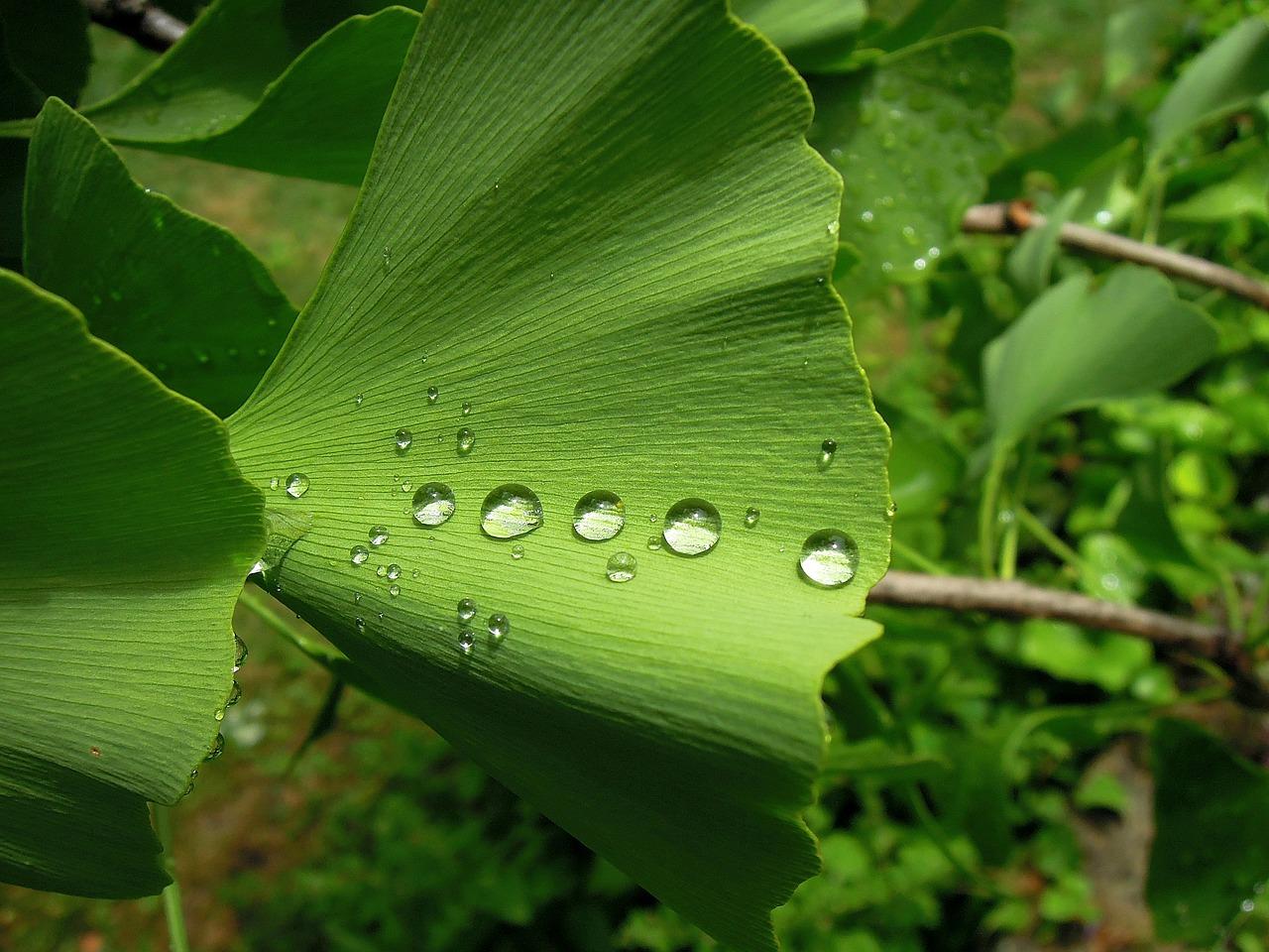 Ginko leaves (Image: pixabay / CC0 1.0)
