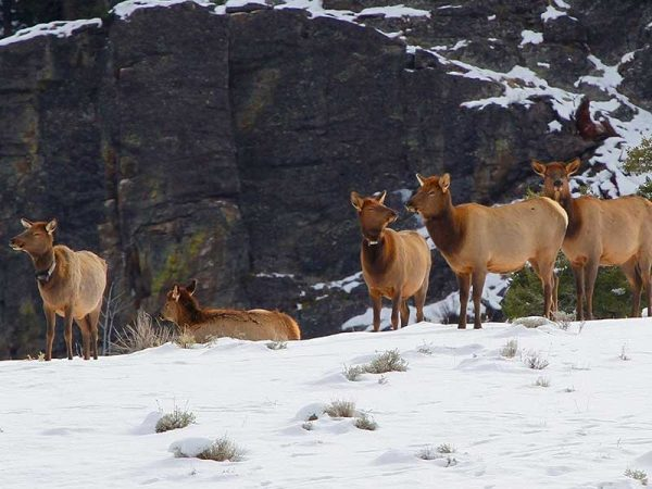 """Utah State University scientists have shown that a 'landscape of fear' does not keep Yellowstone elk from using risky habitats where wolves kill them. In an Early View online article of """"Ecological Monographs,"""" the researchers discuss how elk use nightly lulls in wolf activity to safely access dangerous areas. (Photo credit: Chad Wildermuth)"""