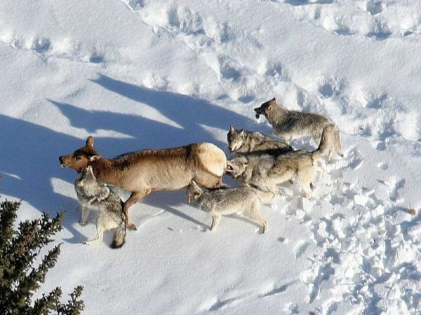 """Utah State University scientists say Yellowstone wolves hunt mostly during morning and evening, allowing elk relief from predation at night and mid-day. In an Early View online article of """"Ecological Monographs,"""" the researchers discuss how elk use these lulls in wolf hunting activity to maintain access to important habitats. (Photo credit: Daniel Stahler/NPS)"""