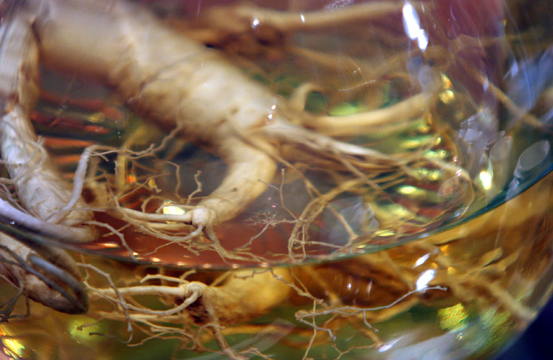 Wild ginseng, also known as 'mountain ginseng,' grows naturally in mountains and is hand-picked by wild ginseng gatherers, while cultivated ginseng, also known as 'garden ginseng,' is planted by humans. (Image: Flickr / CC0 1.0)