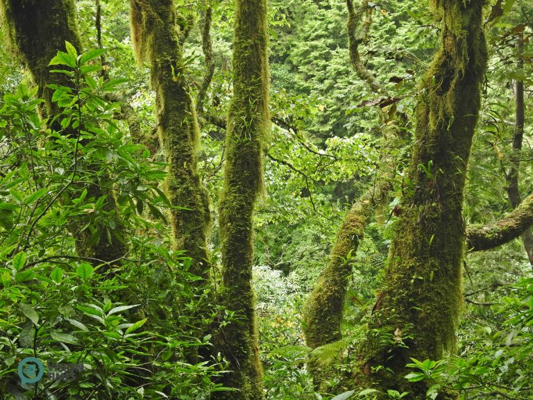 The mossy and foggy environment mixes well with the Peacock pine plantation at Tefuye. (Image: Billy Shyu / Nspirement)