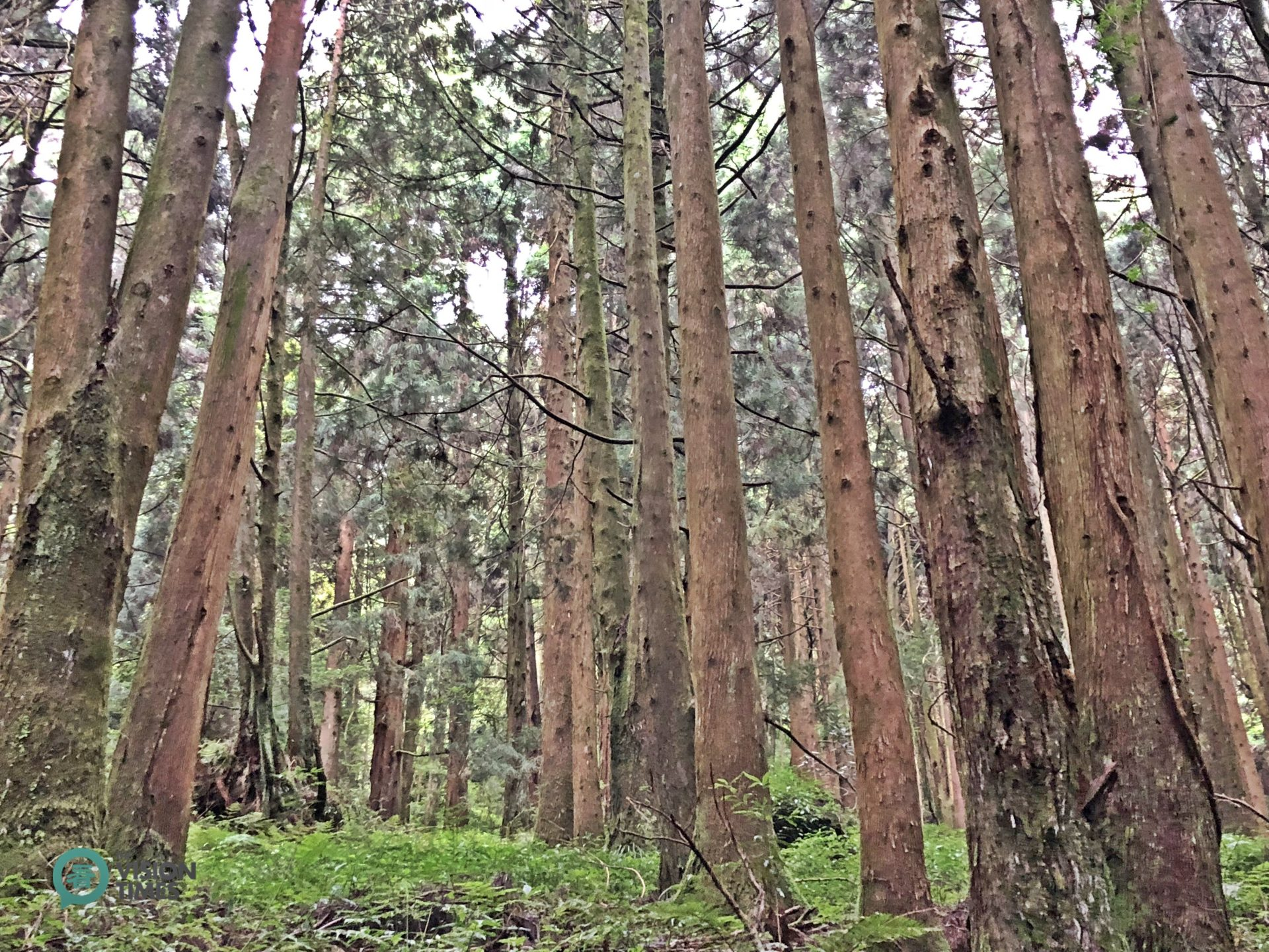 Peacock pine plantation (柳杉人工林) is one of the most typical forest forms in the Alishan National Scenic Area. (Image: Billy Shyu / Vision Times)