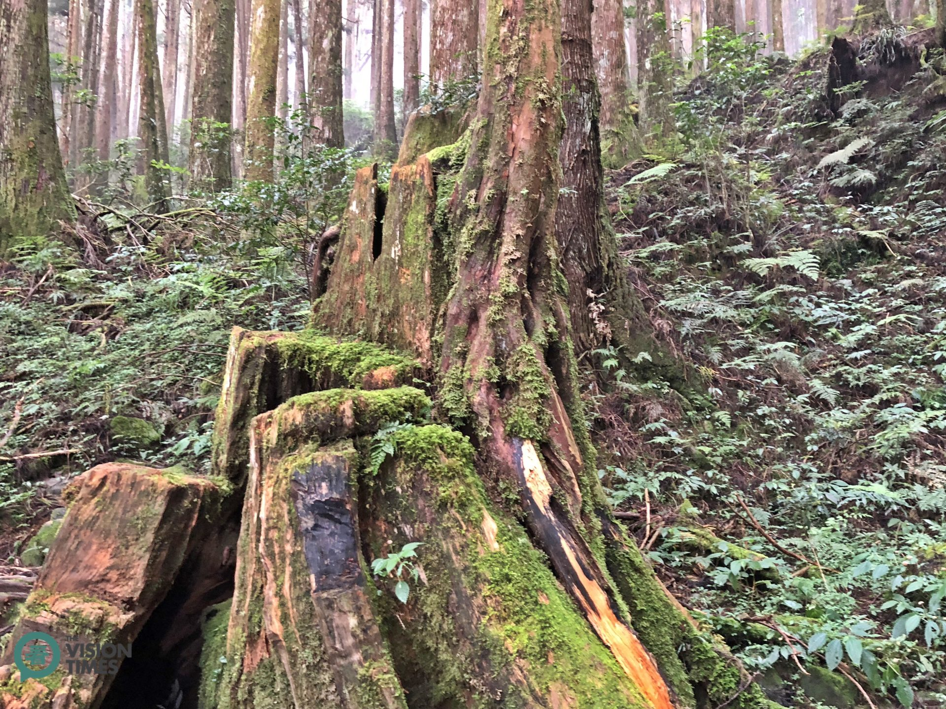 Many stumps of Taiwan red cypress can still be spotted along Tefuye Old Tail. (Image: Julia Fu / Vision times)
