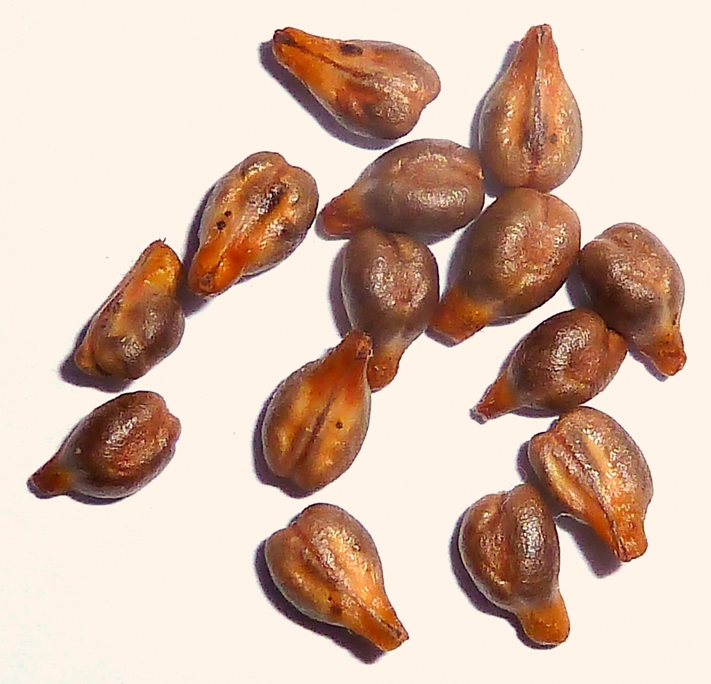 Red grape seeds. (Image credit: By Philmarin [CC BY-SA 3.0 ], from Wikimedia Commons)