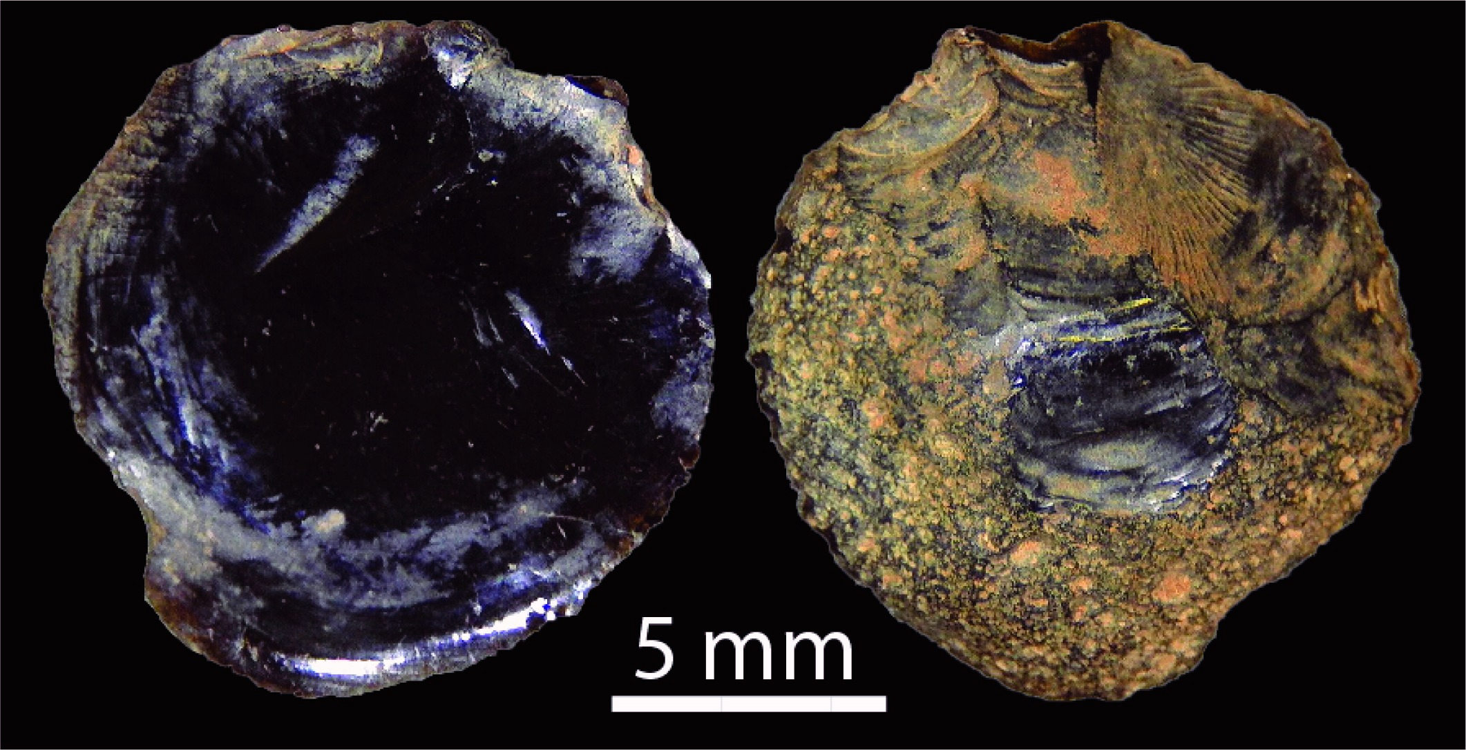(l) ventral and (r) dorsal surfaces of tektite flake showing pitted dorsal cortex (SG1B1002007). (Image: via PLOS )