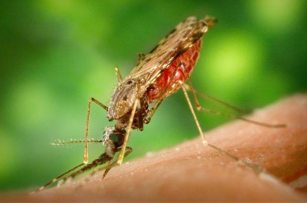 mosquito-1016254_1280
