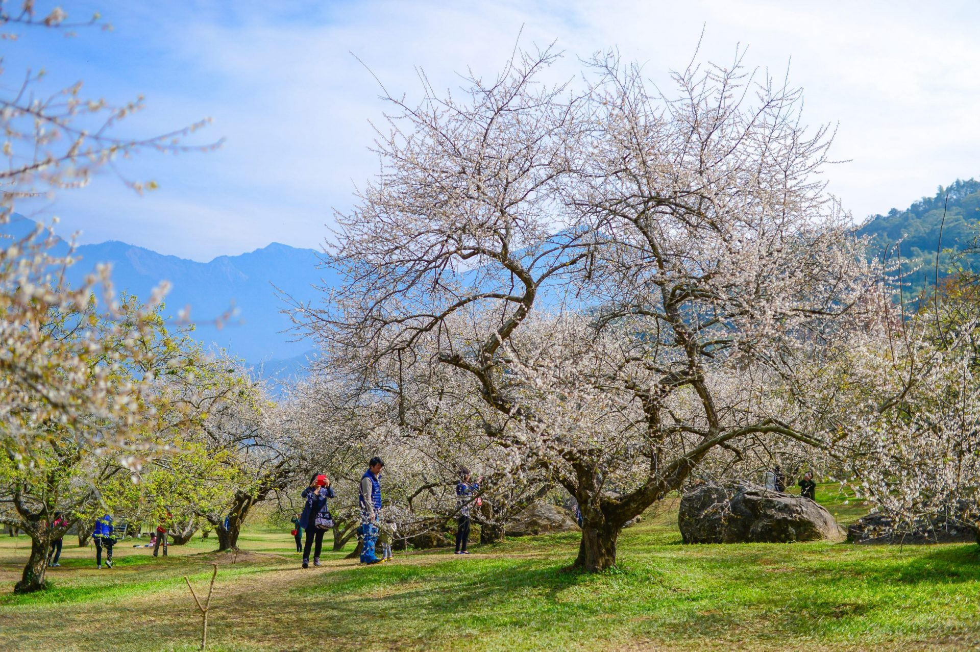 The plum blossom in the vicinity of Dongpu Hot Spring Area in central Taiwan. (Image: Courtesy of Hotel Tilun Dongpu Spa)