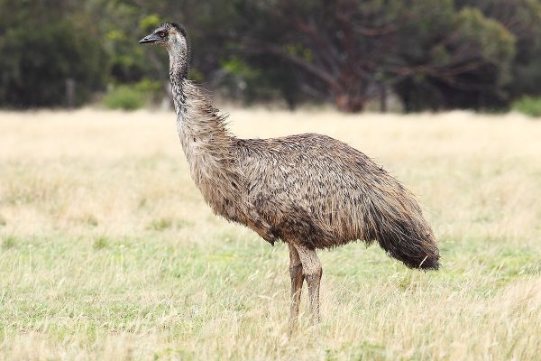Though the emu is a bird native to Australia, very few people have actually tried the bird's eggs. (Image: wikimedia / CC0 1.0)