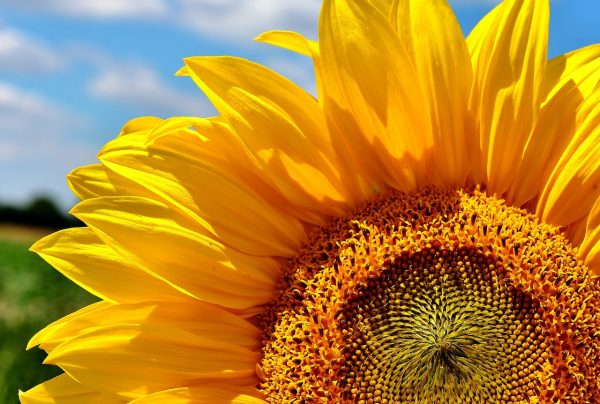The mono- and polyunsaturated fats in sunflower seeds show a clear health benefit, especially related to heart health and risk of cardiovascular disease. (Image: pixabay / CC0 1.0)